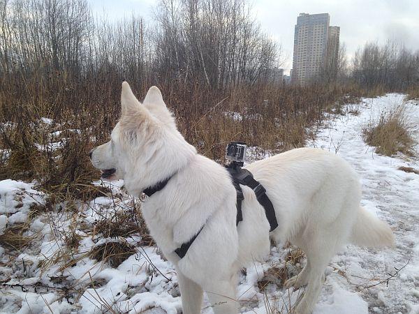 Шлейка упряжка для крепления камер типа GoPro на собаку.