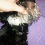 Как правильно одевать ошейник антилай на собаку